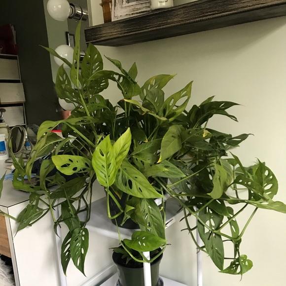 Monsters Adansonii live plant cuttings